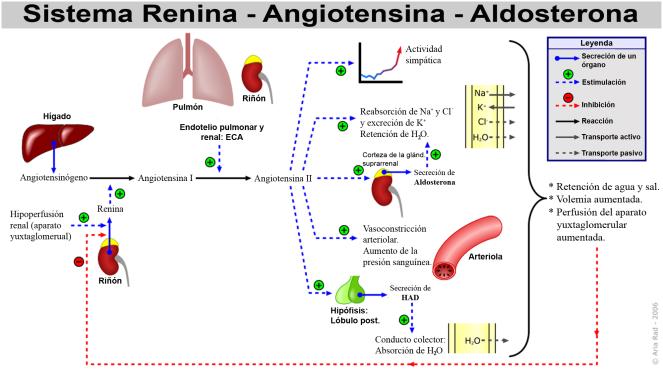 Sistema_Renina-Angiotensina-Aldosterona.png