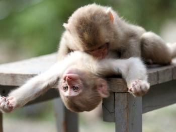 animaldunia_love_6_monkey.jpg