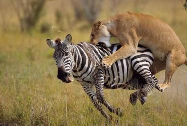 VIdeosdeanimales-leon-cazando-cebra.jpg
