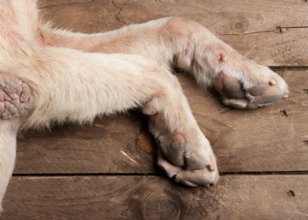 patas-perro
