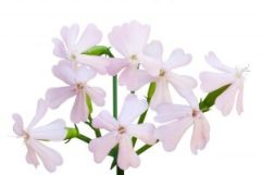 saponaria-flor-300x200-1