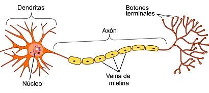 410px-structure_of_neuron_esp